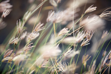 close up of dry reeds grass background