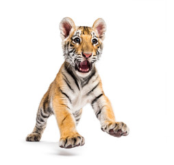 Two months old tiger cub pouncing isolated on white