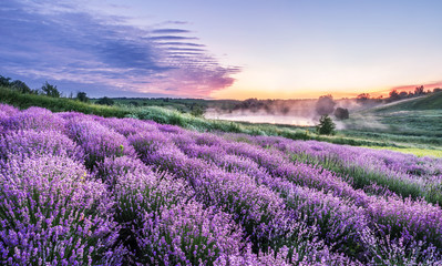 Kolorowy kwiatonośny lawendowy lub lawendowy pole w jutrzenkowym świetle.