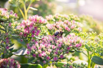 Pszczoła zbierająca nektar z kwiatu