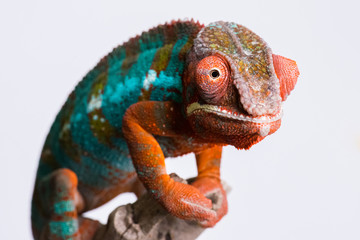 Panther Chameleon standing on branch looking at camera