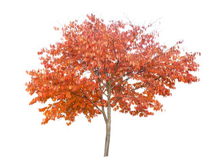 Fire cherry tree, Prunus pensylvanica, with orange leaves in autumn, isolated on a white background