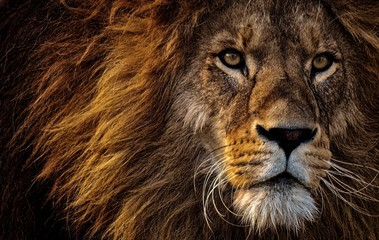 lion,big cat,animal,cat,lions,head lion