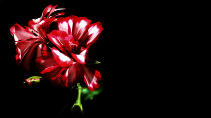 red flower on black background