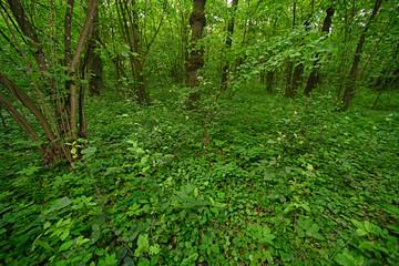 unberührter Wald mit Krautschicht im Nationalpark Polesie, Polen - forest in Polesie National Park, Poland