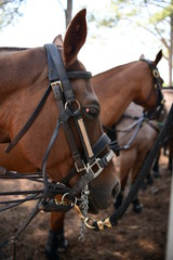 Polo horses riders tournament