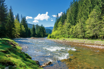 landscape with mountain river among spruce forest. beautiful sunny morning in springtime. grassy river bank and rocks on the shore. waves above boulders in the water. white fluffy cloud on the blue sk