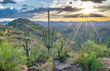 Massive Saguaro in Cactus Forest and Mountains of Sonoran Desert in Distance at Sunset - Saguaro National Park, Arizona, USA