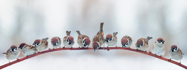 natural panoramic background with a flock of small funny birds sparrows sitting on a branch in the garden