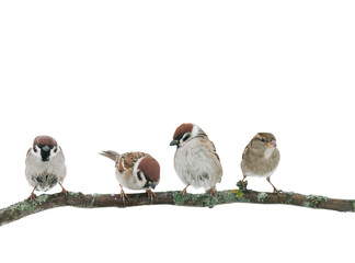 four little funny sparrow birds are sitting on a branch on a white isolated background in the garden
