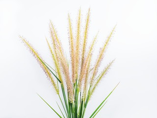 Close-up top of African fountain grass (Pennisetum setaceum) on white background.
