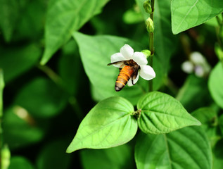 Giant honey bee seeking nectar on white flower in field with natural green background, Thailand