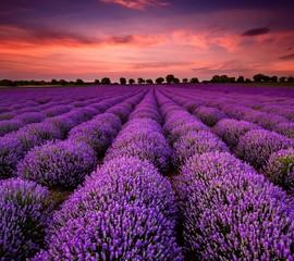 field of lavender & lavener