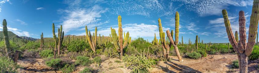 baja california sur giant cactus in desert