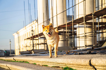 Funny dog near building under reconstruction. Sunny day