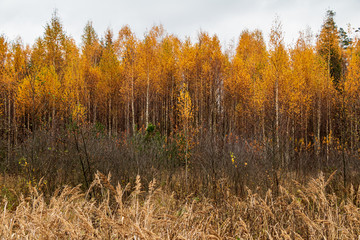 Autumn scene with bright yellow birch trees and long wild grass in foreground in autumn