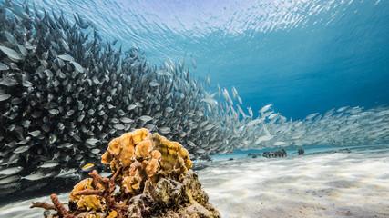 Kulka przynęty / ławica ryb w turkusowej wodzie rafy koralowej na Morzu Karaibskim / Curacao