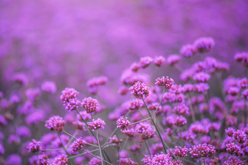 beautiful violet verbena flowers in mon jam chiang mai tour attraction in thailand