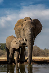 Elelphant Mother and Calf