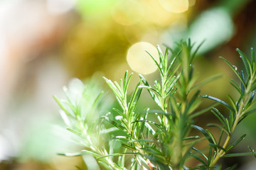 Organic rosemary plant growing in the garden for extracts essential oil / Fresh rosemary herbs nature green background