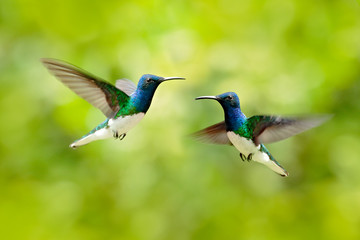 Bird fight, hummingbird. Flying blue and white hummingbird White-necked Jacobin, Florisuga mellivora, from Colombia, clear green background. Bird with open wing.  Wildlife scene from nature.