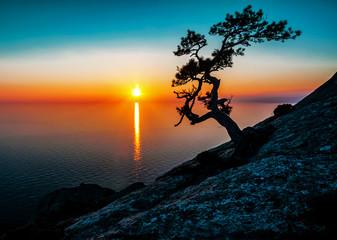 silhouette of alone juniper tree