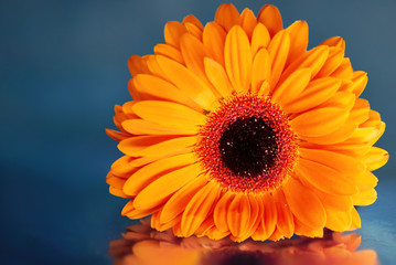 orange gerbera on a blue background with a close-up reflection