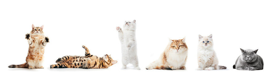 Collection of purebred cats isolated on white