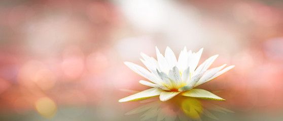 Soft white lotus on pond with soft pink sunlight blur bokeh reflection on panorama background, Lily water flower on the lake