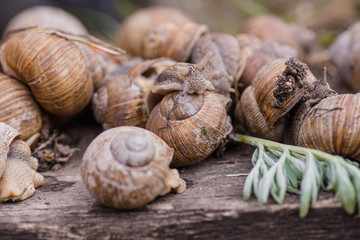 bunch of hand-picked grape snails, summer day in garden. Grape snail farm for restaurants. edible snail or escargot, is a species of large, edible, air-breathing land on wooden plank.
