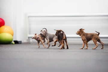 litter of thai ridgeback puppies playing together indoors