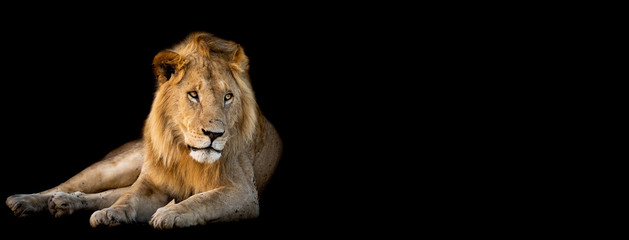 Lion lying with a black background
