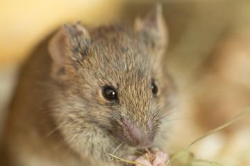 Graue Maus nah 1