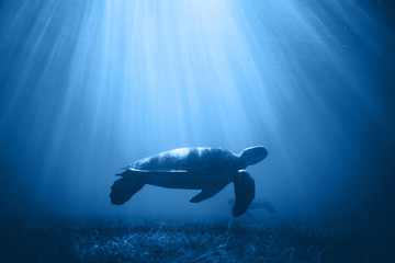 Sea turtle in the sea under water swims. Underwater shooting. Color of the year 2020. Color concept.
