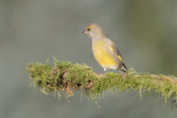 European greenfinch inside coniferous forest (Chlrois chloris)