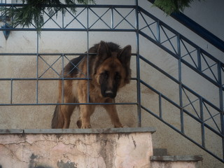 Dog as a house guardian behind metal rails