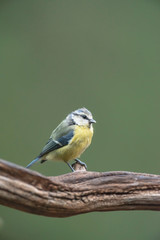 Blue tit perched on branch in summer forest.