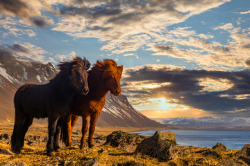 Icelandic horses. The Icelandic horse is a breed of horse developed in Iceland.