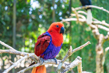 Colorful red parrot, a female Eclectus parrot (Eclectus roratus) sitting on a branch. Bali island, Indonesia.