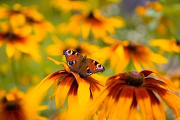 The peacock eye butterfly is on the flower of Rudbeckia hirta.