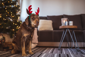 Family pet dog posing in front of the christmas tree wearing reindeer antlers hat