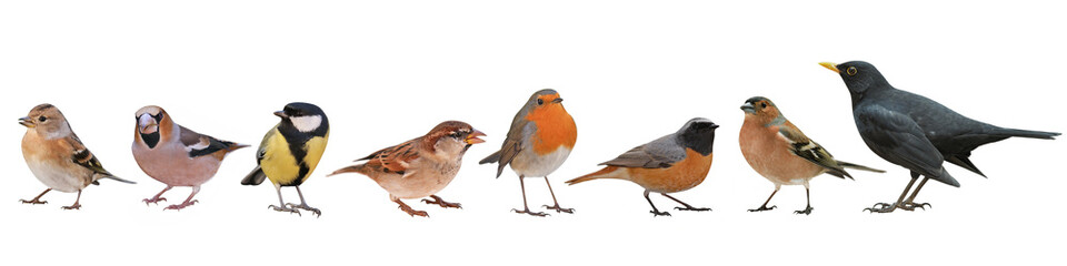 Collection of the most common European birds, isolated with white background