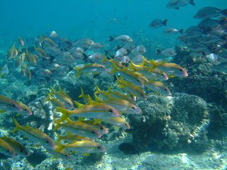 Mixed shoal of yellowfin goatfish (Mulloidichthys vanicolensis) (front) and humpback snapper (Lutjanus gibbus) (rear), Borneo