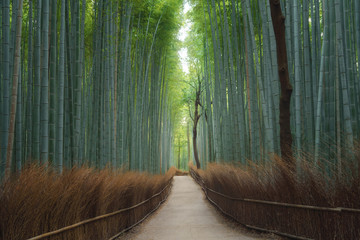 Road trail or path way at Japanese Bamboo Forest at Arashiyama in travel holidays vacation trip outdoors in Kyoto, Japan. Tall trees in natural park. Nature landscape background.