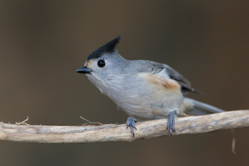 Black-crested titmouse perched on a backyard feeder
