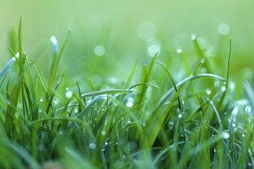 Grass in the dew. Stalks of grass with large drops of water on a blurred green background. Lawn closeup in raindrops. Natural freshness. Green grass texture