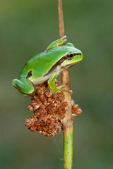 San Antonio's frog (Hyla arborea) climbing a reed. Leon, Spain