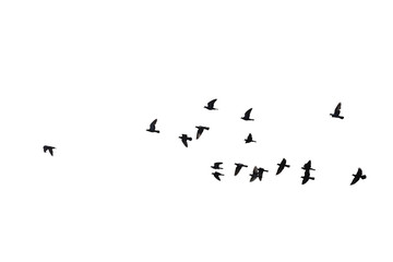 Flocks of flying pigeons isolated on white background. Clipping path.
