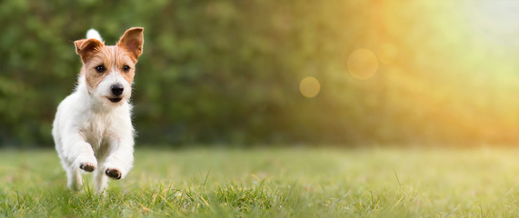 Spring, summer concept, playful happy pet dog puppy running in the grass and listening with funny ears