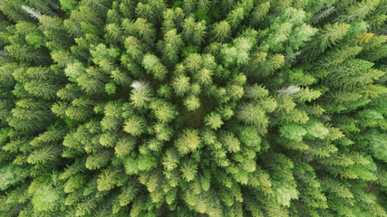 Vertical aerial view of spruce and fir forest. Texture coniferous forest top view. Scandinavia.